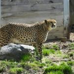 Philadelphia Zoo Gepard