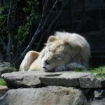 Philadelphia Zoo Löwe