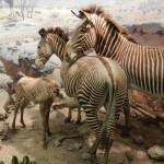 Zebras Museum