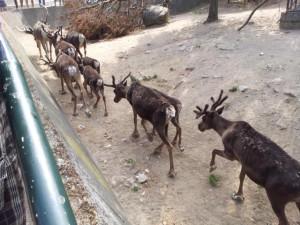 Rentiere Zoo Kopenhagen