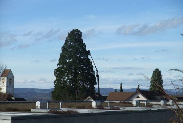 Mammutchristbaum strahlt wieder